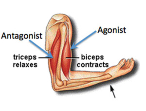Agonist Antagonist Muscles How They Work
