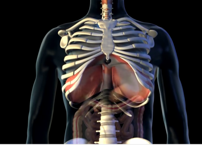 muscles of the diaphragm, breathing, hot yoga, sterling hot yoga