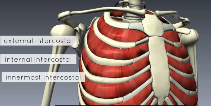 muscles of the thoracic wall, breathing, hot yoga, sterling hot yoga